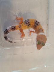 Leopardgeckos 0 1 NZ2021