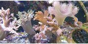 Weichkorallen Meerwasser