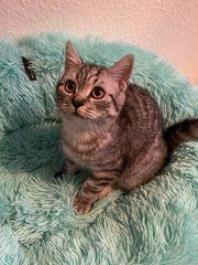 BKH Kitten sucht schönes Zuhause