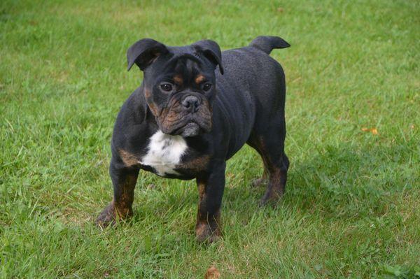 Alternativ Bulldoggen