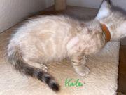 Bengal Kitten Snow Lynx und