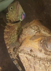 Winkelkopfagamen Gonocephalus