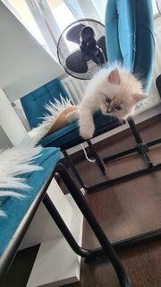 Neva Masquarade kitten antiallergisch