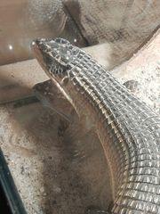 Gerrhosaurus Major