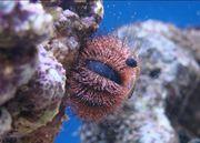 Meerwasser Globulus Seeigel