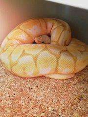 Verschiedene Königspython Python Regius abzugeben