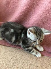 Niedliche BKH Mix Kitten