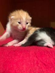 Sibirischen Katzen Kitten