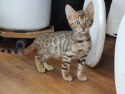 Bengal Kitten XXL Rosetten Silber