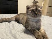 Scottish Fold Bkh Kitten abholbereit