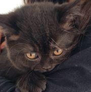 Reinrassige bkh kitten 10 Woche