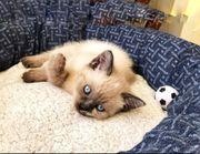 Siam-Thai Kitten zum abholen