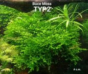 Buce Moos Typ2 Aquarium Pflanzen