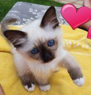 Heilige Birma Kitten Katze Kätzchen