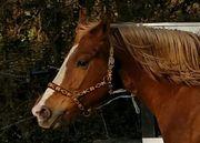 Wer sucht ein Freiberger Pferd