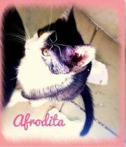 Afrodita Katze geb ca 04