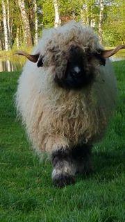 Walliser Schwarznasen Bergschaf Schafe