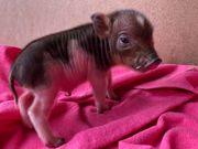 Minischwein Ferkel