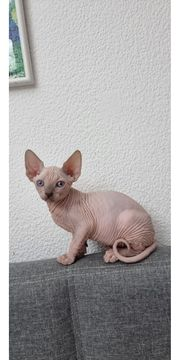 Sphynx Kitten