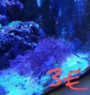 Meerwasser Korallen Anemonen Ableger