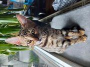 Babykatze Bengalmix