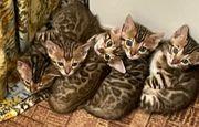 Bengal Kitten vom Züchter Nadüschas-Gold