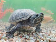 4 Moschusschildkröten zu verkaufen