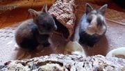 Zwergkaninchen - Kaninchen - Hase - Hasen - Löwenkopf -