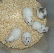 Weiße Hamster junge Zwerghamster kleine