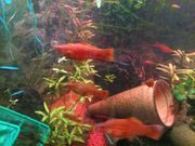 rote Platy