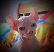Sphynx - Elfen - Kitten zum liebhaben