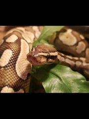 königspython 0 1 mit terrarium