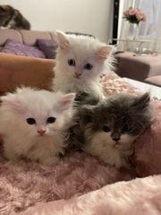 zuckersüße Perser kitten
