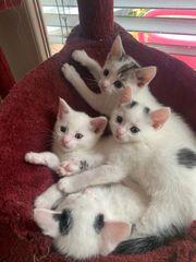 EKH Kitten