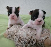 Französische Bulldoggen ab 25 12
