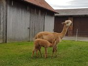 Alpaka Stute mit Fohlen zu