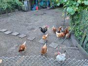 Legehühner und Hahn