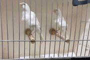 Paar Kanarienvögel