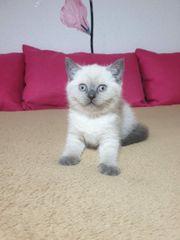 BKH Britisch kurzhaar kitten Blue-point