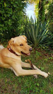 Großer liebenswerter und verträglicher Labradormix