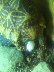 Adulte Sternschildkrötengruppe Eierlegend