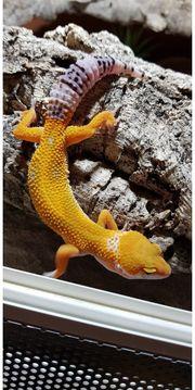 Leopardgecko Tangerine 0 0 1