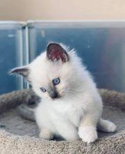 Atemberaubende schöne Ragdoll Kätzchen