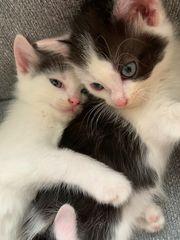 Sehr verschmutze BKH mix Kitten