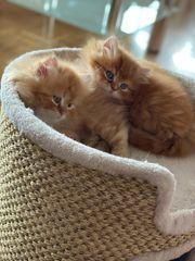 Perser Chinchilla Baby Katzen männlich