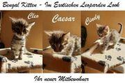 Zuckersüße reinrassige Bengalen Kitten Die