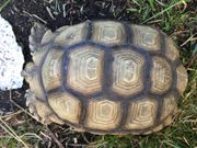 Weibl Spornschildkröte Centrochelys sulcata abzugeben