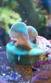 Meerwasser Pavona Affenhaar Koralle