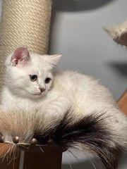 BKH-Devon-Rex-Mix Kätzchen Abholbreit
