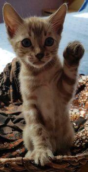 Snow mink Bengal Kitten reinrassig